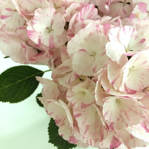 【e87】アジサイ「千鶴」 by e87 ピンクのマーブル柄