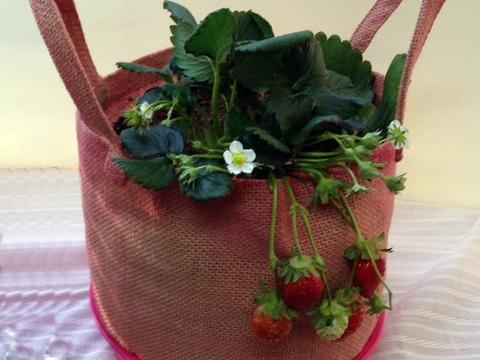 イチゴ栽培キット