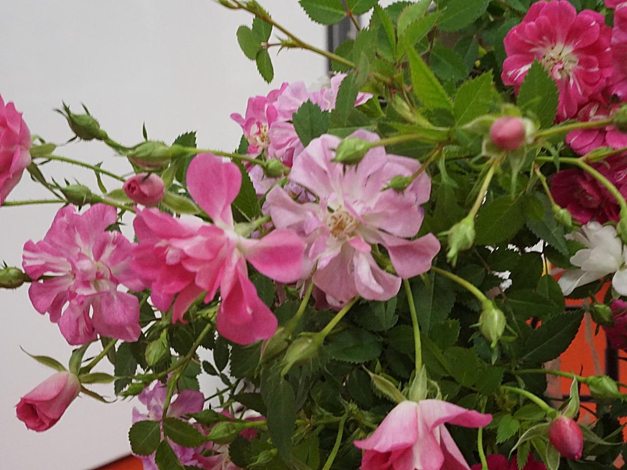 新月バラ園 ローズのハートリース 【母の日】
