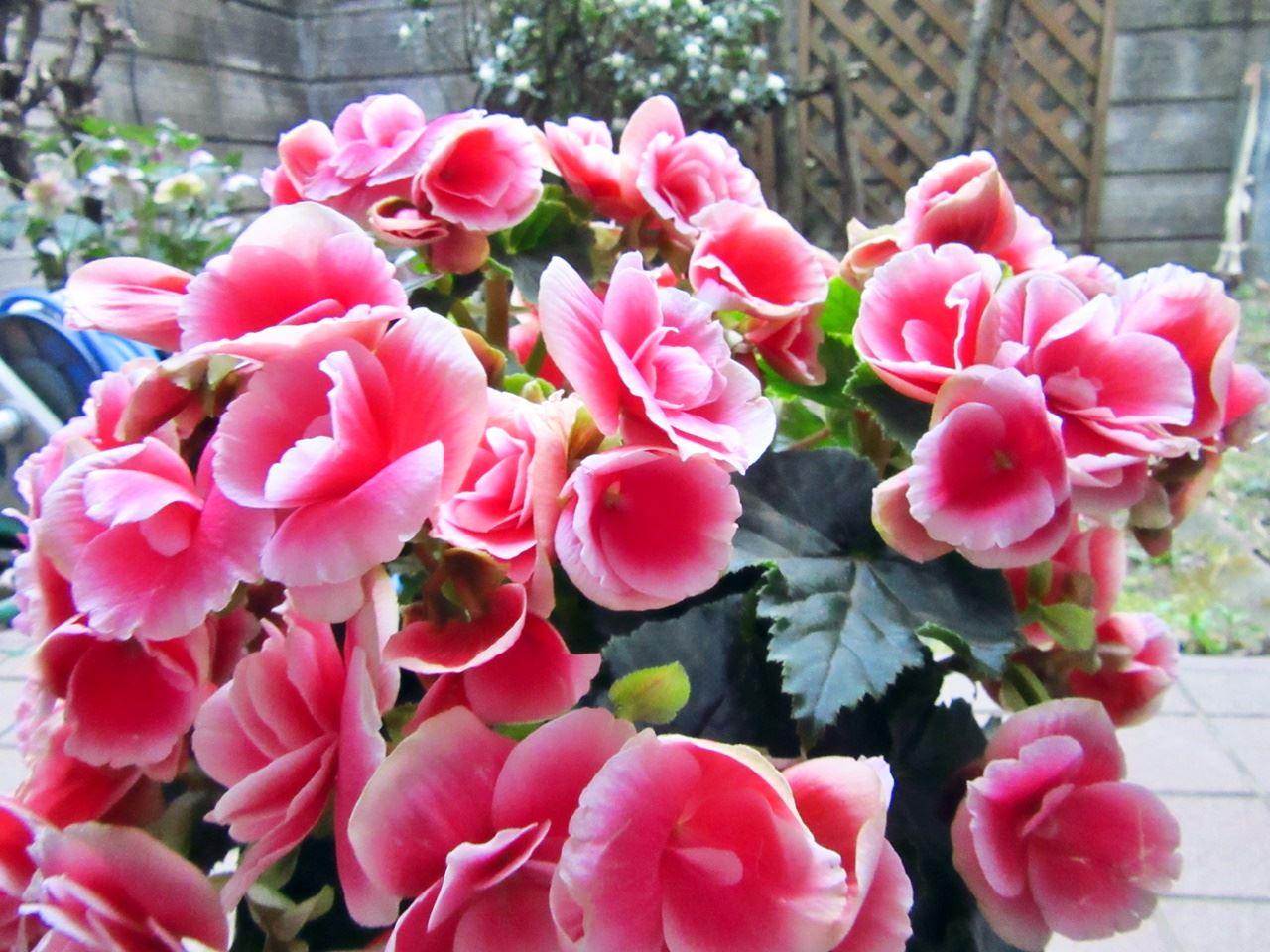 【e87】母の日 鉢植え「ベゴニア ボリアス ラグジュアリーなひと時を」