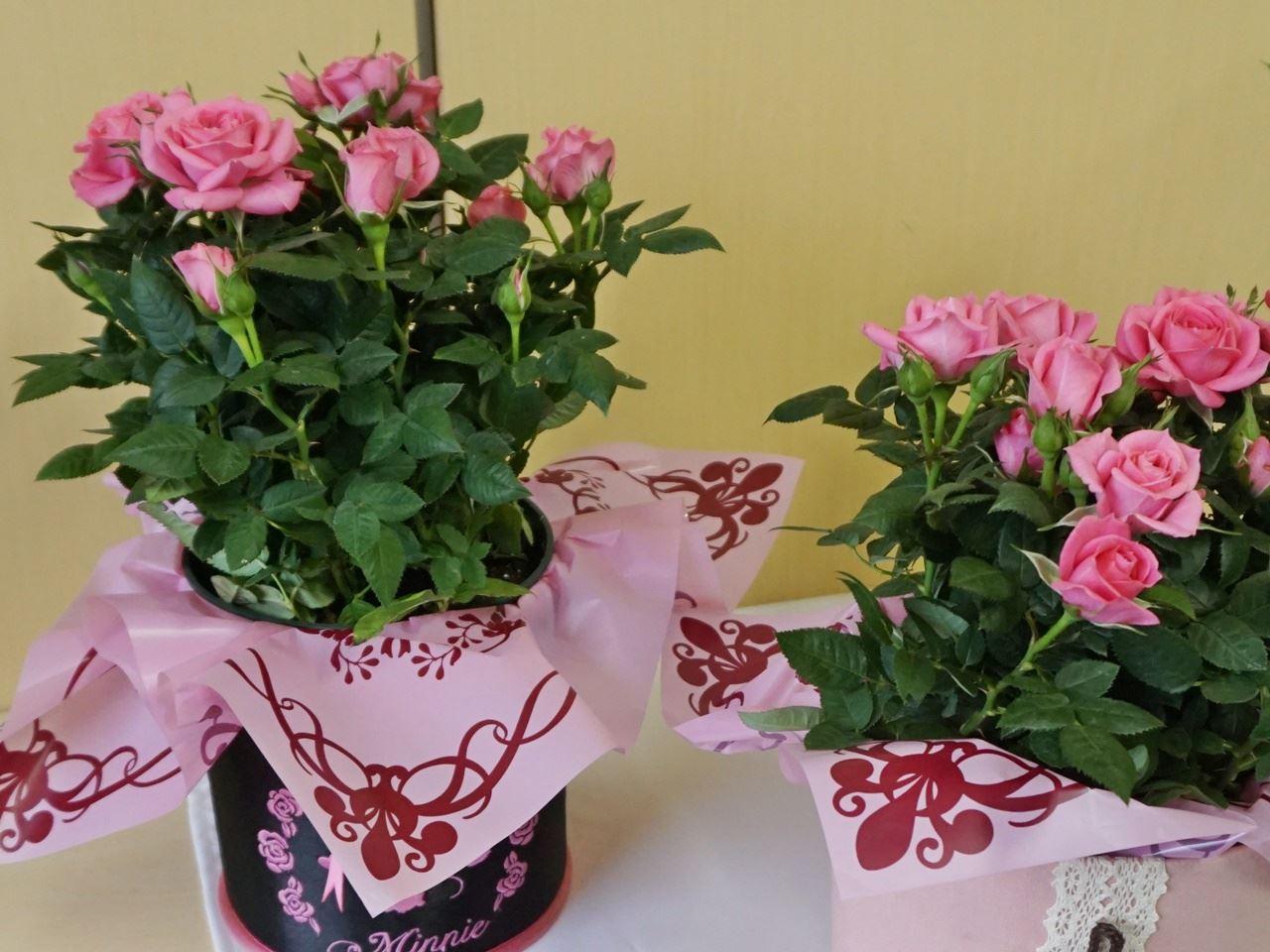 【e87】母の日 鉢植え母の日 鉢植え「ミニバラ セントラルキューティー」と母の日 ディズニー 鉢植え「ローズバスケット(ミニー)」
