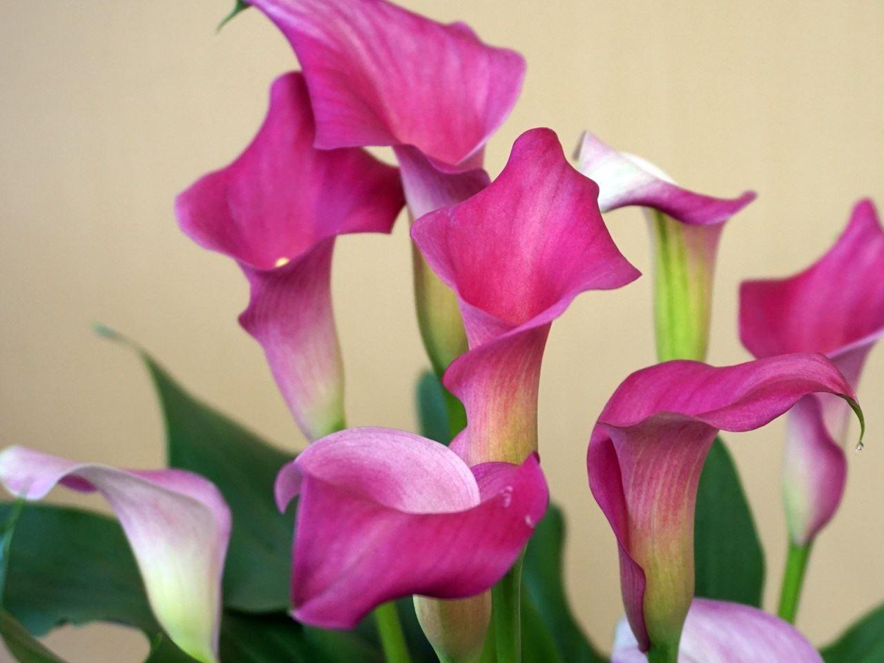 【e87】母の日 鉢植え「カラー ネオンアムール」