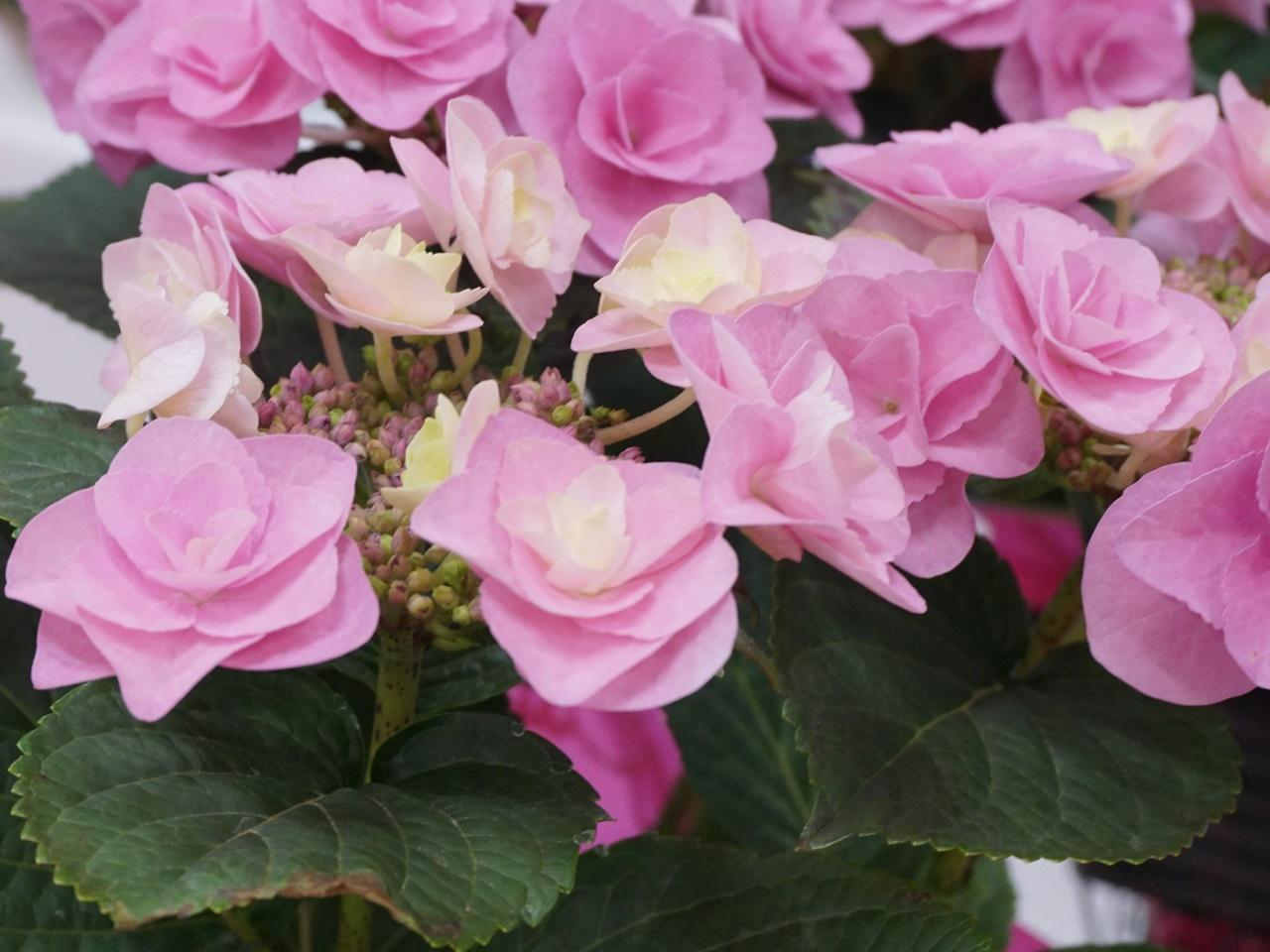 イイハナ人気NO.1 母の日 鉢植え「アジサイ フェアリーアイ」