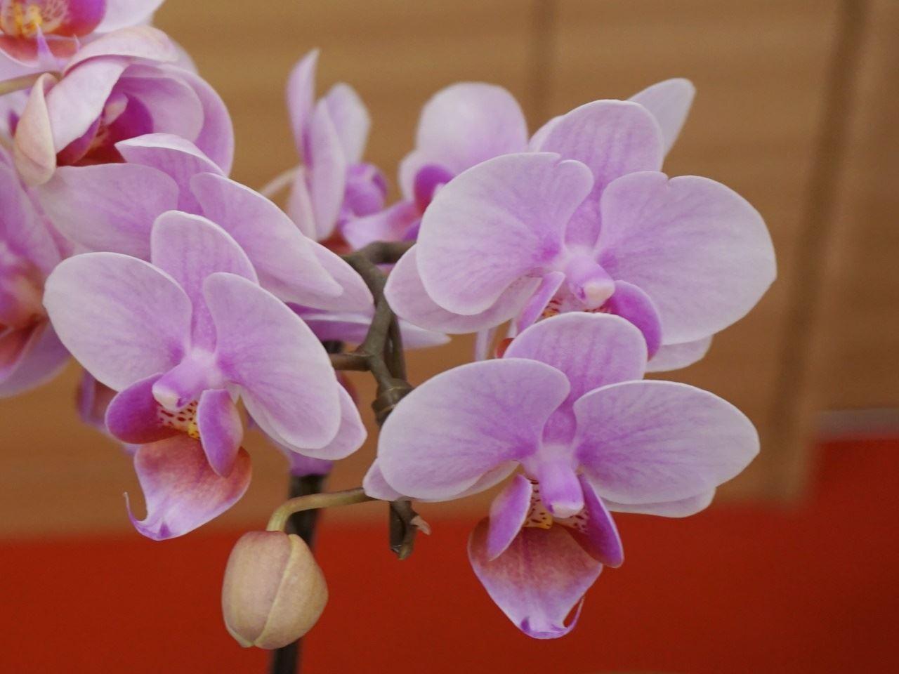 【イオン】 椎名洋ラン園 ミディ胡蝶蘭「ココロ」2本立(SUSTEE付) 花のクローズアップ
