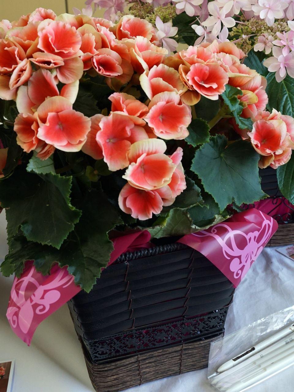 【e87】母の日 鉢植え「バラ咲きベゴニア ボリアス」