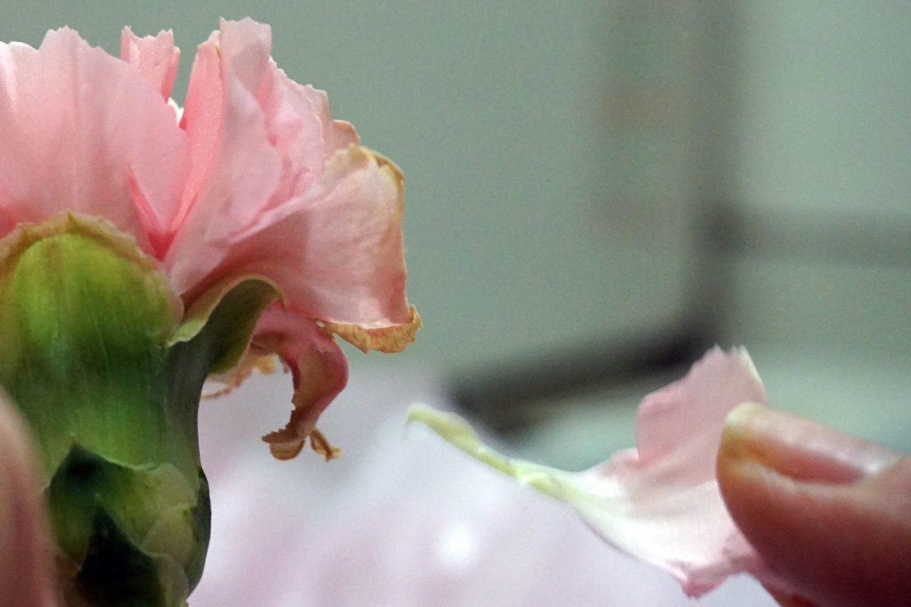 【日比谷花壇】母の日 そのまま飾れるブーケ「ストロベリーピンク」から、傷んだ花びらだけ外したら......。